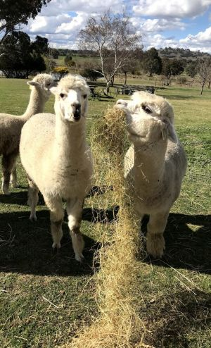 Clearview Alpacas - Winery Find